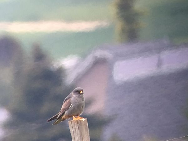 Red-footed Falcon  - Brigitte Hofmann