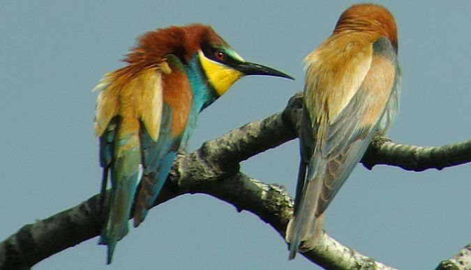 European Bee-eater  - Stefan Röllin