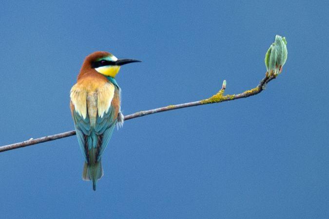 European Bee-eater  - Klaus Robin