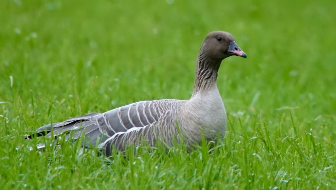 Pink-footed Goose  - Werner Eberhard