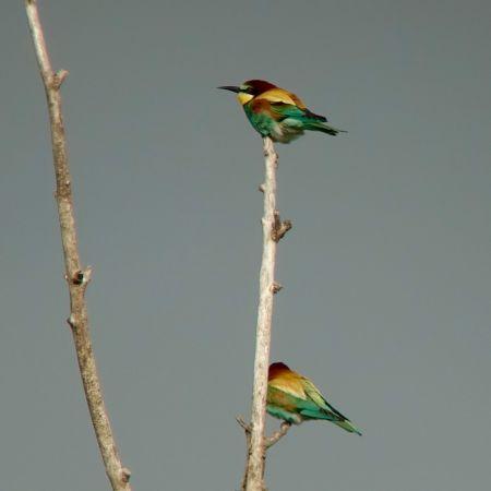 European Bee-eater  - Werner Eberhard