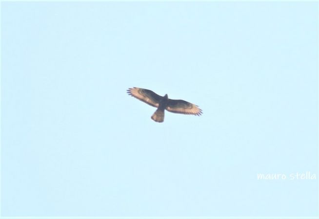 European Honey-buzzard  - Lucia Stella