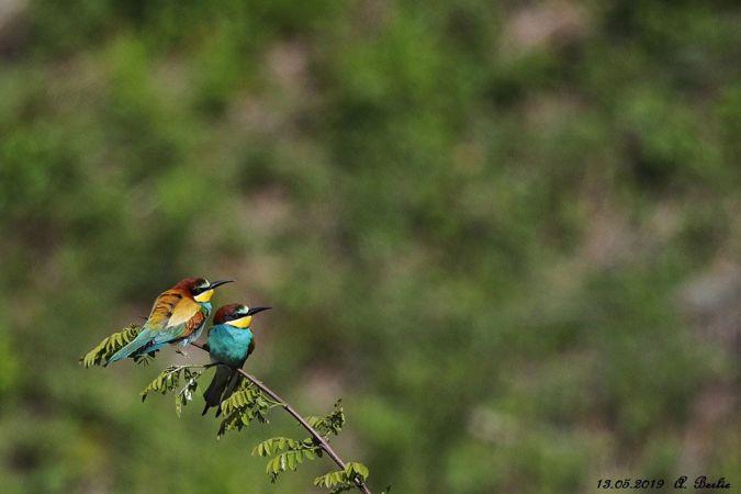 European Bee-eater  - Berlie Arlette