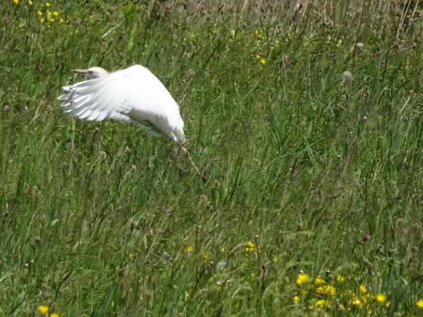 Cattle Egret  - Daniel Querio