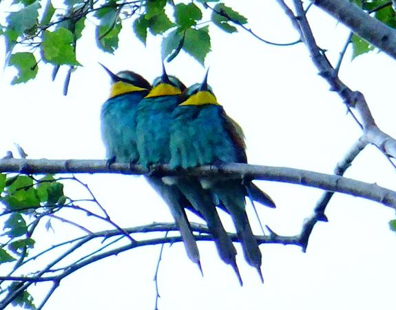 European Bee-eater  - Ladina Müller