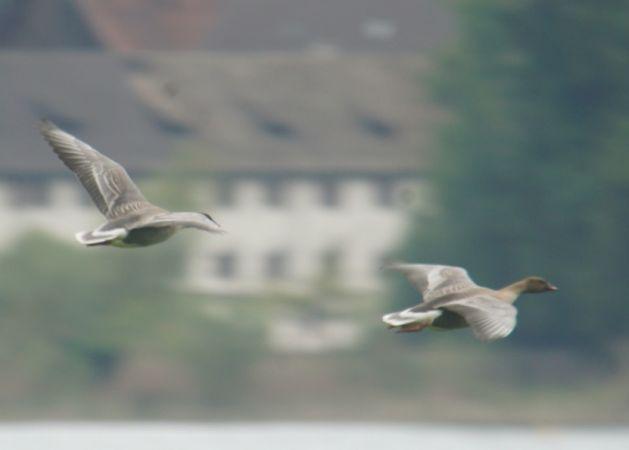 Pink-footed Goose  - Samuel Büttler