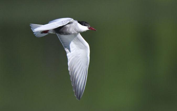 Whiskered Tern  - Patrick Reymond