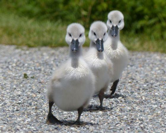 Mute Swan  - Natascha Kunkel