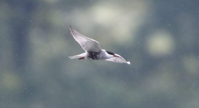 Whiskered Tern  - Nadir Signori