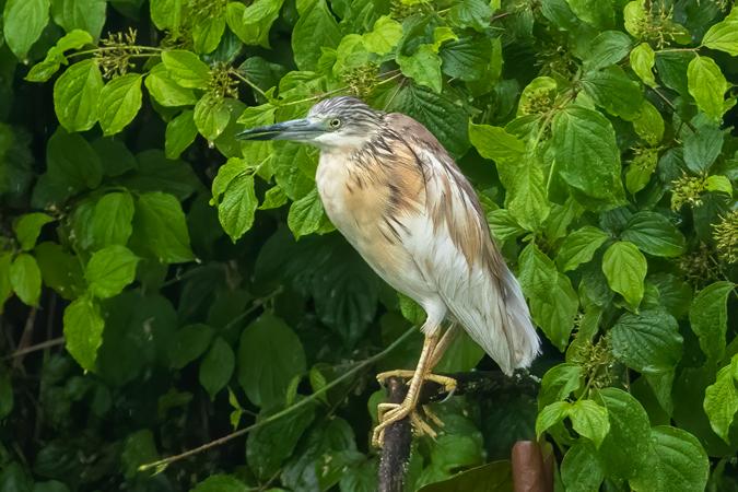 Squacco Heron  - Adelia Hellweger
