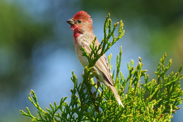 Common Rosefinch  - Othmar Hässig