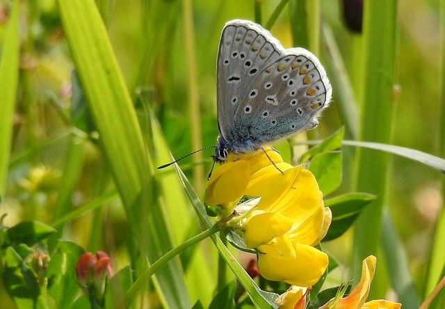 Common Blue  - Jean-Claude Muriset