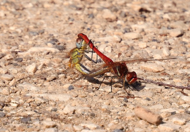 Red-veined Darter  - Jean-Claude Muriset