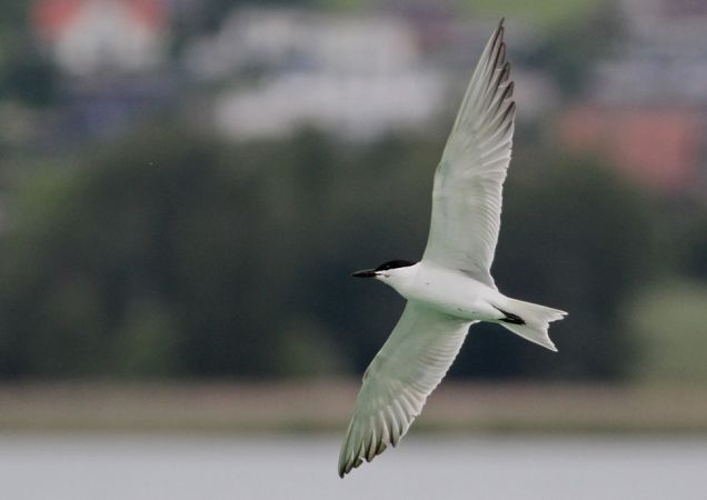 Common Gull-billed Tern  - Jan Bisschop