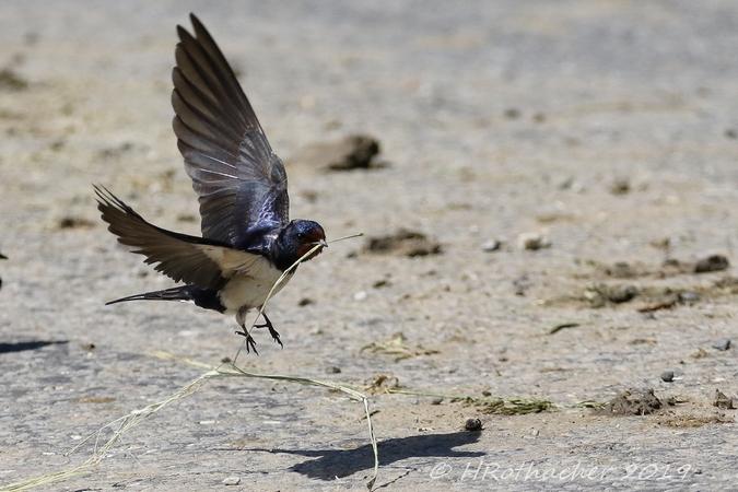 Barn Swallow  - Heinz Rothacher