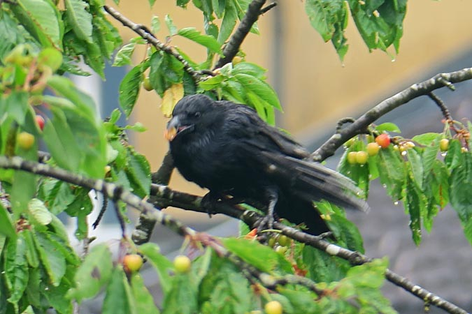 Carrion Crow  - Heini Hefti