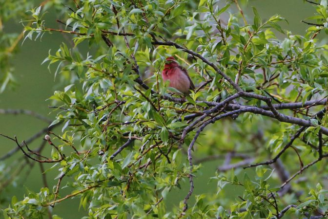 Common Rosefinch  - Adolf Helmut Müller