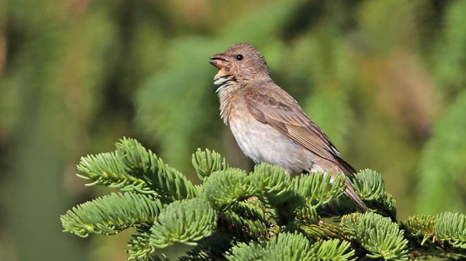 Common Rosefinch  - Kaspar Mettler