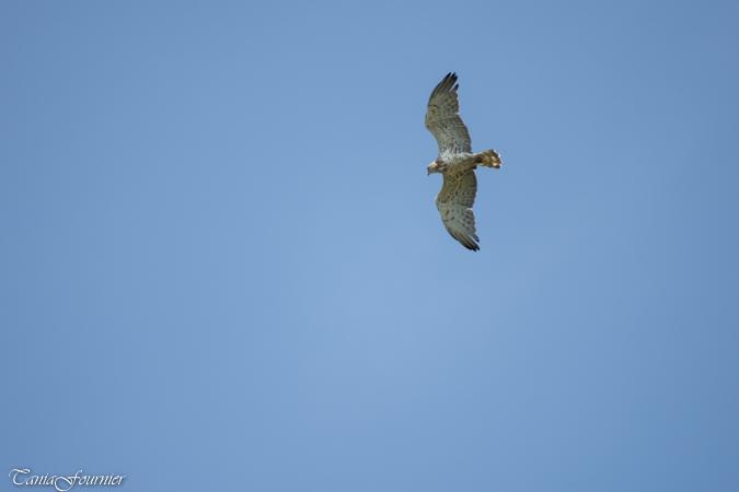 Short-toed Snake-eagle  - Fournier Tania