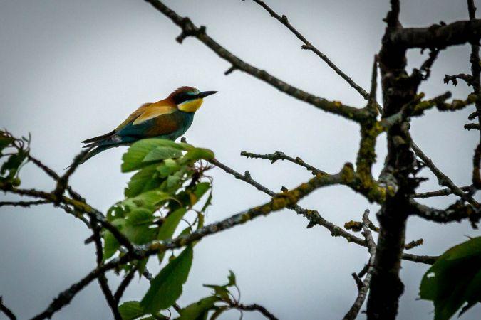 European Bee-eater  - Richard Aigroz