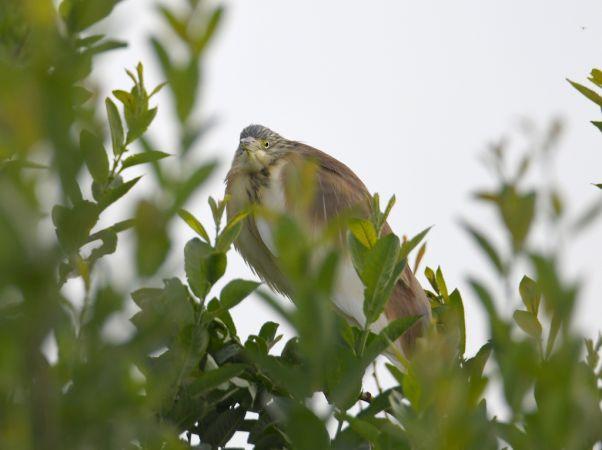 Squacco Heron  - Remo Zanelli