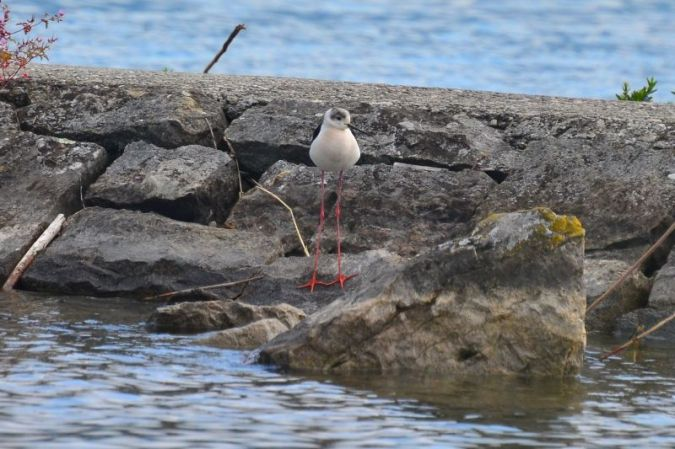 Black-winged Stilt  - Brigitte Abgottspon