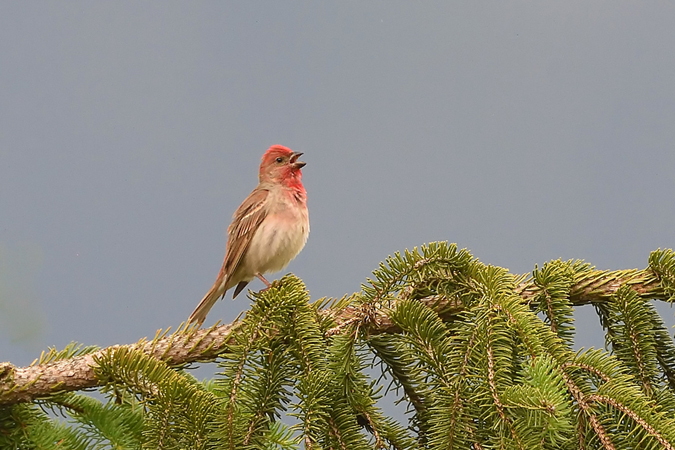 Common Rosefinch  - Lukas Marty