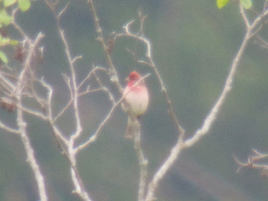 Common Rosefinch  - Therese Aegerter