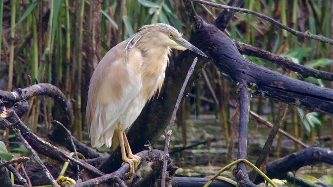 Squacco Heron  - Werner Eberhard