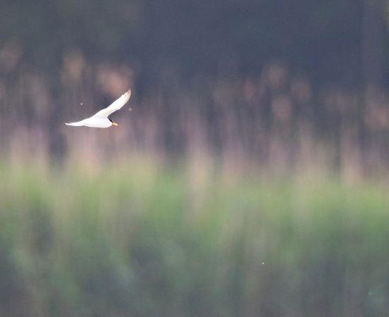 Little Tern  - Christian Huber