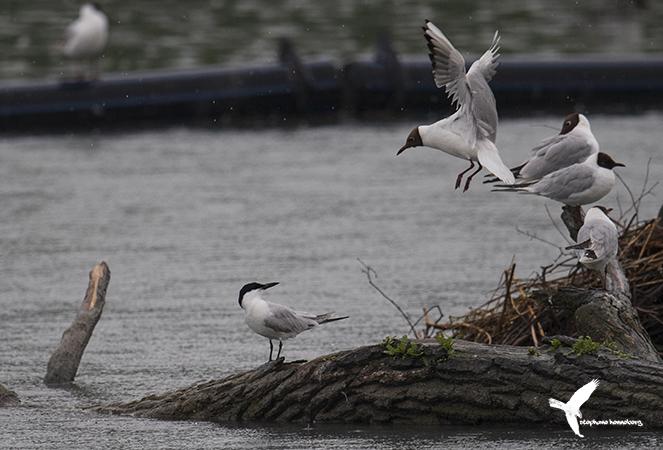 Common Gull-billed Tern  - Stephane Henneberg