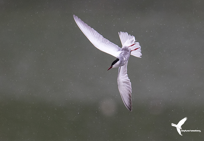 Whiskered Tern  - Stephane Henneberg