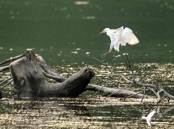 Cattle Egret  - Stephane Henneberg