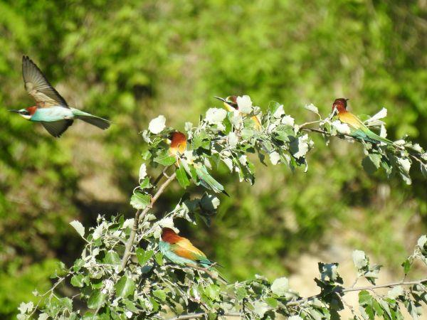 European Bee-eater  - Mehdi Azizi