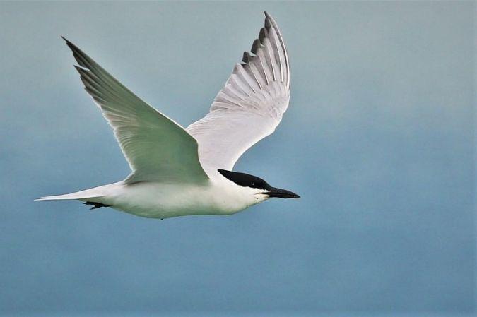 Common Gull-billed Tern  - Samuel Betschart