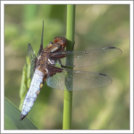 Broad-bodied Chaser  - Philippe Desbiolles
