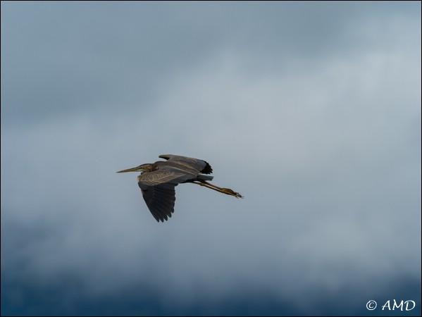 Purple Heron  - Adrian Dauwalder