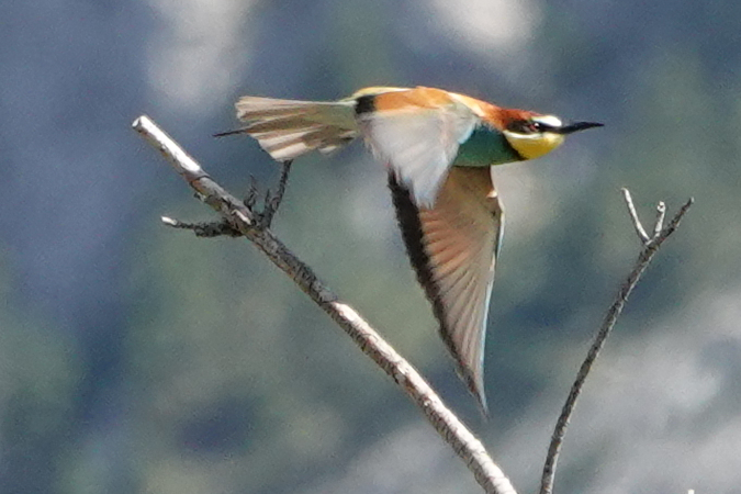 European Bee-eater  - Hubert Cattin