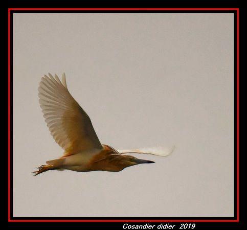 Squacco Heron  - Didier Cosandier