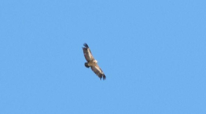 Griffon Vulture  - Nadir Signori