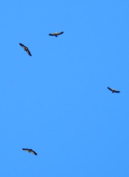 Griffon Vulture  - Hansruedi Käppeli