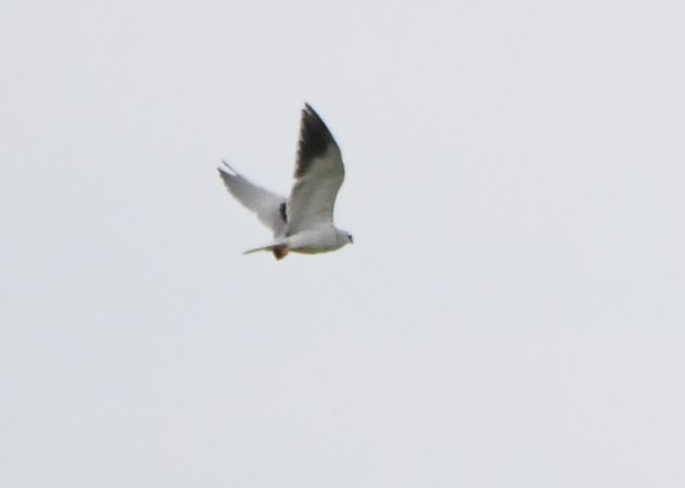Black-winged Kite  - Laurette Oberson