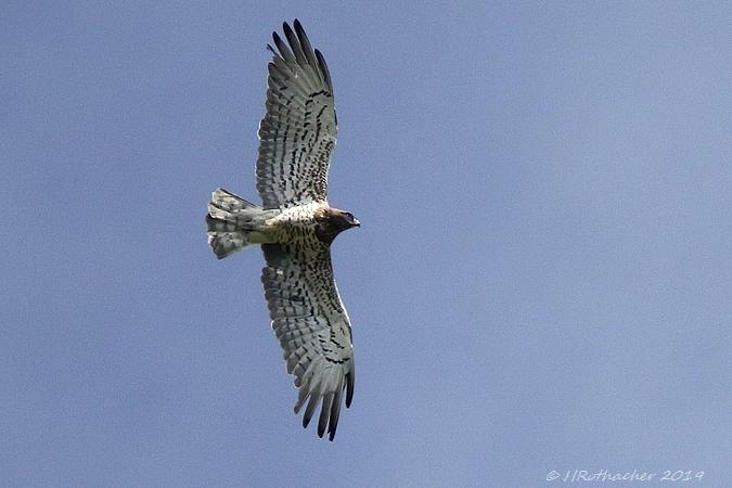 Short-toed Snake-eagle  - Heinz Rothacher