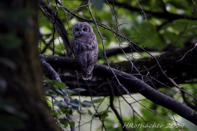 Tawny Owl  - Heinz Rothacher
