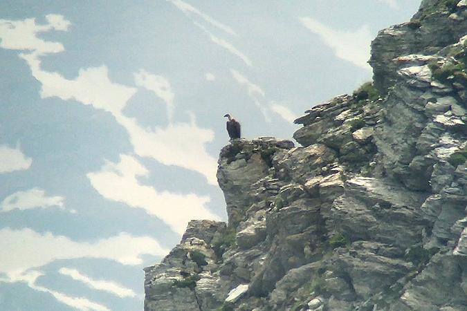 Griffon Vulture  - Kilian Disler