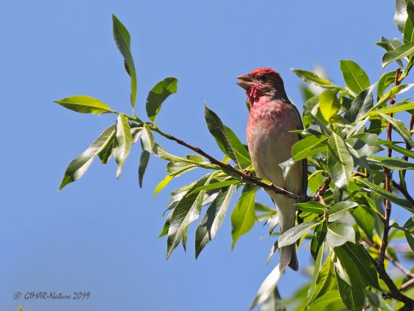 Common Rosefinch  - Gianni Marcolli