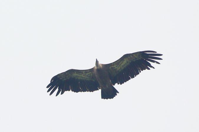 Griffon Vulture  - Adolf Helmut Müller