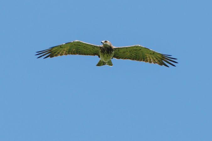 Short-toed Snake-eagle  - Adolf Helmut Müller