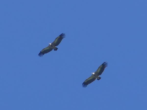 Griffon Vulture  - Ernst Weiss