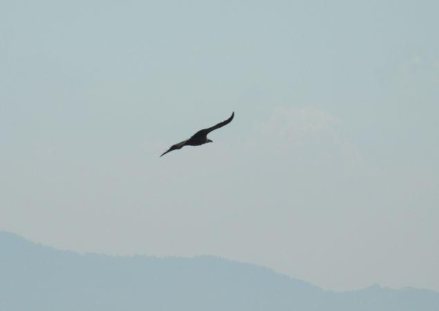 Griffon Vulture  - Dario Crinari